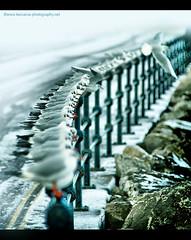 Winter Gull Row - New Brighton 2010 (Lee Carus) Tags: new winter bird rock fence frozen brighton minolta g seagull gull wing beak row 200 28 alpha 80 2010 a900
