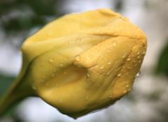 Chalice Vine / Solandra grandiflora / () (TANAKA Juuyoh ()) Tags: macro high hires resolution 5d hi grandiflora  res  markii solandra  chalicevine cupofgoldvine