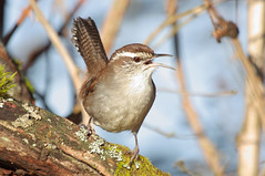 Wren (namra38) Tags: wild bird wildlife small wren marshwren
