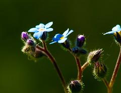Bolton Percy station nature reserve (Chris McLoughlin) Tags: uk flowers england flower macro nature closeup day wildlife sony yorkshire 100mm flowerbud a300 sal100m28 sonya300 sonyalpha300 alpha300 chrismcloughlin