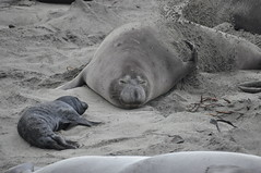 Big Sur 137 (trurokr) Tags: elephant san seal simeon