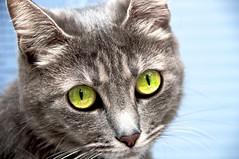 Missi primer plano (Xabier Ordiales) Tags: yellow cat eyes amarillo ojos gato gata miranda