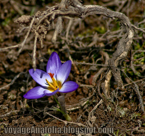Purple Crocus from the Best Spring Florist by voyageAnatolia.blogspot.com
