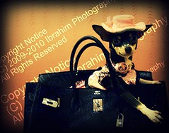 Madame Chloe wearing Birkin                                   (Ibrahim photography [Qatar]) Tags: madame dog chihuahua smile hat smiling vintage puppy toy dress jane chloe mini fancy madam chanel hermes neckless birkin toybreed top20smalldogshots birkin40