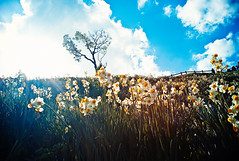 a slope in the sun (moaan) Tags: life leica light sky cloud sunlight flower digital flora warm south calm beam utata m8 flowering wildflowers sunbeam slope colony 2010 narcissus awajiisland 21mm superangulon  facingsouth inlife f34 leicam8 leicasuperangulon21mmf34   gettyimagesjapanq1 gettyimagesjapanq2