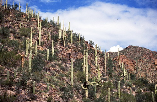 A hillside of saguaro - notice the one with arms waving