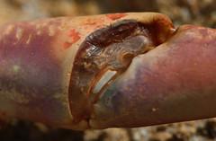 claw closeup (robynejay) Tags: ocean beach sand shell crab nsw narooma stephanrobyn