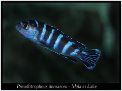 Pseudotropheus demasoni (Bruno Cortada) Tags: malawi marino mbunas cclidos sudafricanos tanganyica