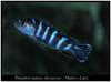 Pseudotropheus demasoni (Bruno Cortada) Tags: malawi marino mbunas cíclidos sudafricanos tanganyica