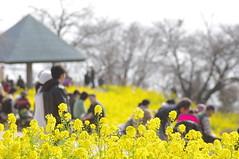 二宮・吾妻山公園の菜の花