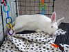 Flopped. (jess sully) Tags: new white rabbit bunny big relaxing zealand flopped
