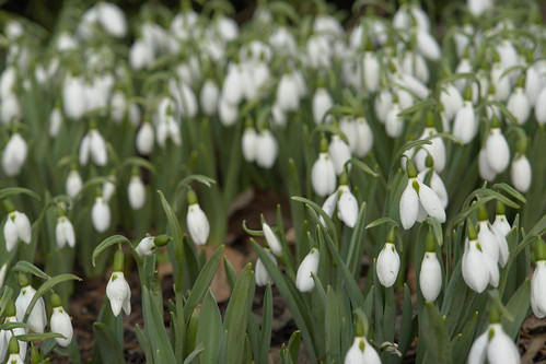 Snowdrops in winter (02)