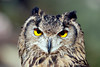 Eagle owl (floridapfe) Tags: animal zoo korea owl everland eagleowl vosplusbellesphotos