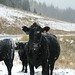 Frozen Cows of Colorado