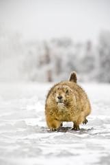 prairiedog (scavengercat808) Tags: fantastic wildlife prairiedog