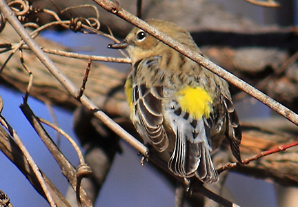 yellow-rumped warbler - backside