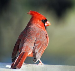 Northern Cardinal (*Cristiana*) Tags: nikon cardinal sensational northerncardinal backyardbirds mywinners indianabird