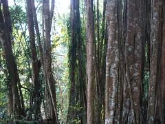 Banyans 1 (YZ-L) Tags: taiwan taitung banyantree