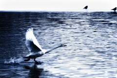 Run on the water (waltersoluh) Tags: winter lake snow nature birds fly swan fineartphotos platinumphoto visiongroup theunforgettablepictures alwaysexc artistictreasurechest redmatrix magicunicornverybest adriënnesmagicalmoments