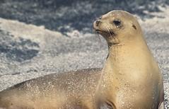 Galapagos Fur Seals (Derek Keats)
