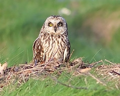 Coruja-do-nabal / Short-eared owl (António Guerra) Tags: nature birds wildlife natureza birdsinportugal avesemportugal aves birdwatching vidaselvagem shortearedowl asioflammeus corujadonabal