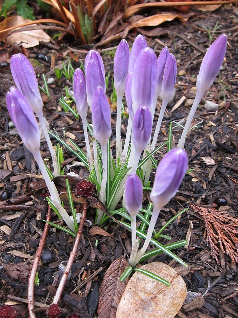 Closed-up crocus