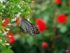 Bướm xuân (Hương Thảo (ake)) Tags: flower macro butterfly pentax bokeh vietnam km bướm pentaxfa2880 platinumpeaceaward beyondbokeh chợhoaxuân