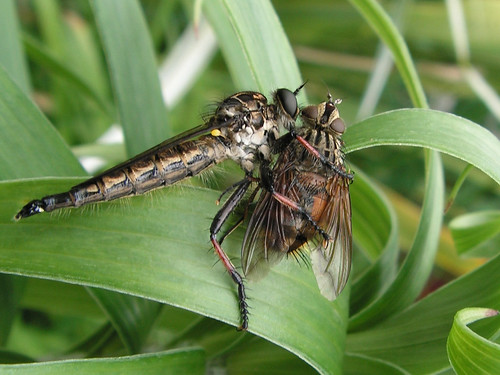 robber fly - check out the halteres