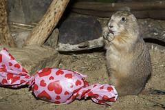 Black-Tailed Prairie Dog (Smithsonian's National Zoo) Tags: usa house mammal zoo dc washington day small national valentines