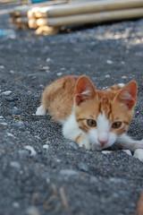 Kitten (sparksandspots) Tags: orange white colour cute beach cat grey kitten santorini greece pebble kamari