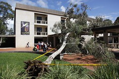 Tree fall at University of Canberra (Electric Images) Tags: tree rain escape roots lucky eucalypt eucalyptus uc universityofcanberra concourse goodluck treefall eucaplyt