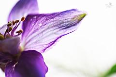 Transparent Flower (Senzio Peci) Tags: italy flower color macro verde green nature italia colore purple natura sicily fiore viola sicilia paternò intothedeepofmysoul
