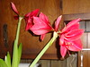Amaryllis on Feb 11, 2010