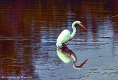 Great Egret (tropicdiver) Tags: florida sanibel greategret dingdarlingrefuge