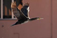 Cormorano di citt (giansacca) Tags: birds animals uccelli cormorant animali oiseaux cormoran grandcormoran greatcormorant phalacrocoraxcarbo carbo phalacrocorax kormoran cormorano greatblackcormorant nikonflickraward cormorancommun