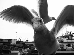 Seattle seagulls (ashabot) Tags: seattle pugetsound seagulls birds