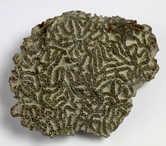 Chain coral fossil called Halysites, 003387 (Black Country Museums) Tags: history coral museum fossil natural dudley geology museums fossils blackcountry wrensnest silurian museumobject chaincoral blackcountryhistory geologycollections
