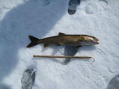 Dave's fish (REGOR NOTPUL) Tags: fishing lakers icefishing loughboroughlake