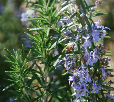 Bee-Rosemary_2