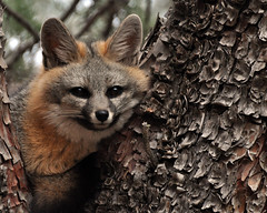 Gray Fox (AZ Steve) Tags: arizona wildlife great gray photographers fox specanimal platinumpeaceaward verdeimages