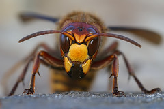 Vespa crabro  - Hoornaar - European hornet (henk.wallays) Tags: macro nature up insect european vespa close wasp belgium belgie wildlife queen hornet overwintering insecte flandres hymenoptera vlaanderen wesp guepe apidae vespacrabro hoornaar crabro veldwesp