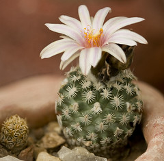 Cute Little Cactus (AnEyeForTexas) Tags: flowers cactus cacti succulent blossom wildflowers botanicals blooming hugyourcacti