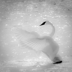 Trumpeter Swan (Phiddy1) Tags: bravo ngc npc soe naturesfinest flickrsbest specanimal bestofflicksbest blinkagain bestofblinkwinners
