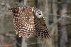 (#172) A Barred Owl (tinyfishy) Tags: ontario bird flying inflight owl aggressive barred