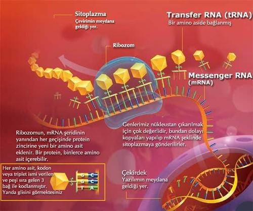 amino asit protein zinciri kas yapmak için gerekenler