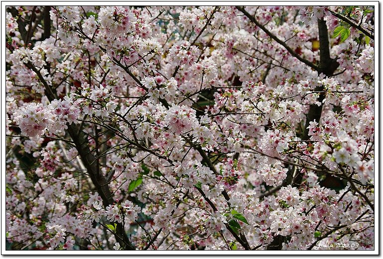 天元宮,櫻花 (3)
