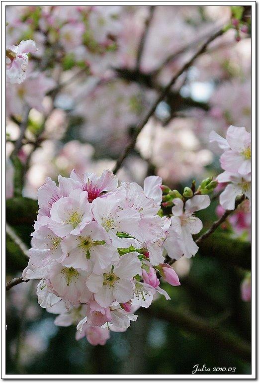 天元宮,櫻花 (12)