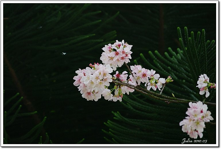 天元宮,櫻花 (22)