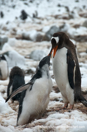Penguins Feeding Young in Antarctica
