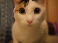 Mochi (Howard Chen!) Tags: cute japan cat japanese neko mochi japanesebobtail bobtail 貓 manju jbt